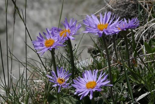 flore des alpes
